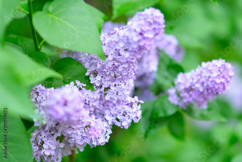 Fotobehang Lilac Lilac. Beauty in natutre. Lilac garden. Spring flowers background.