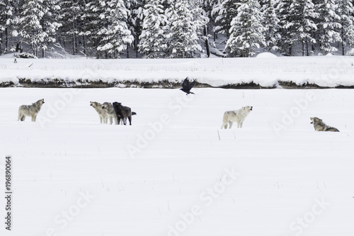 Photo  Wolves howling