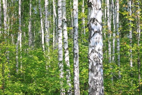 Naklejka premium Piękne młode brzozy z zielonymi liśćmi w lecie w słoneczną pogodę