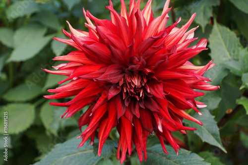 Tuinposter Dahlia Close-up view from above of a Dahlia flower of Akita variety with a red inflorescence growing in the foothills of the Caucasus