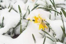 Closeup Of Daffodils Covered B...