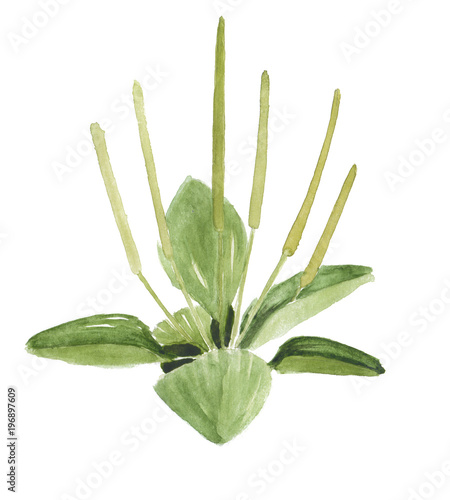green plantain watercolor hand drawn isolated on white. Canvas Print