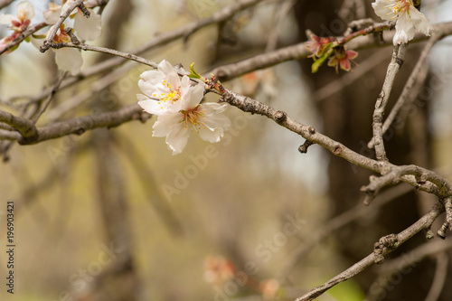Almond tree blossom Poster