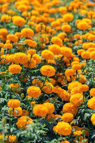 Plakat pomarańczowy kwiat nagietka w ogrodzie