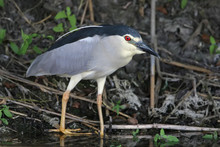 Very Close Up Photo Of An Adult Night Heron Stands On A Shore