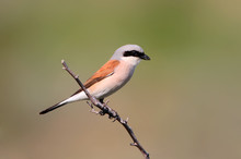 Very Close Up Photo Of A Red Backed Shrike On Blurred Background