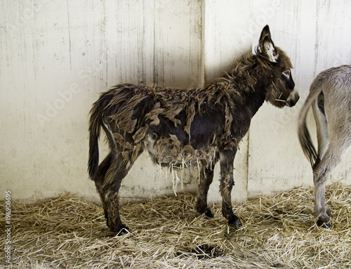 Donkey in stable