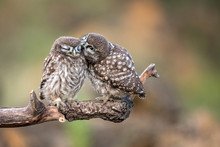 Two Little Owls (Athene Noctua...