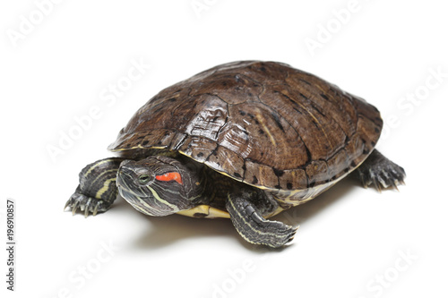 Red-eared slider (Trachemys scripta elegans) isolated on white