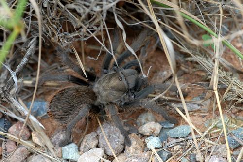 Arizona Blond Tarantula