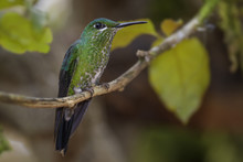 Green-crowned Brilliant - Heli...