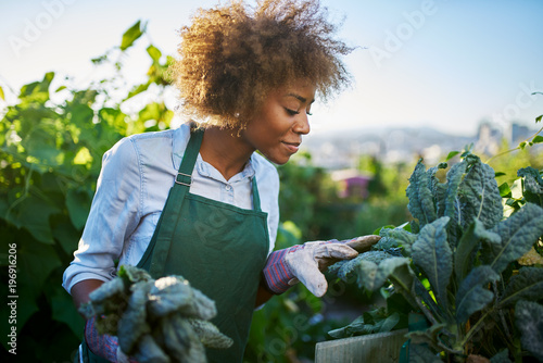 Fotografie, Tablou african american woman tending to kale in communal urban garden