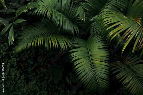 Photo Top view of palm tree and tropical rainforest foliage plant leaves growing in wild, green nature dark background