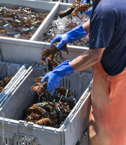 Live Maine lobsters transported on organized on a boat