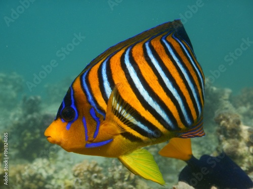 Fototapety, obrazy: Royal angelfish