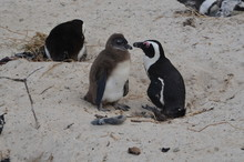 Penguin Feeds Its Baby And Bre...
