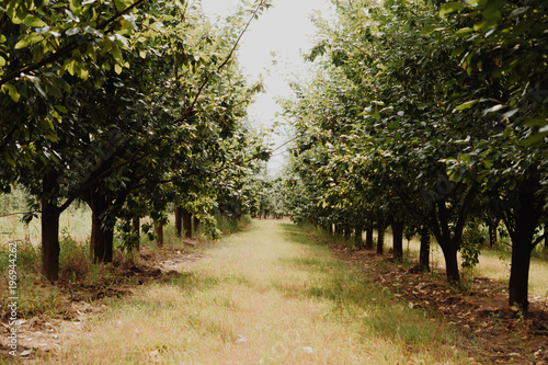 Raw of plum trees in orchard