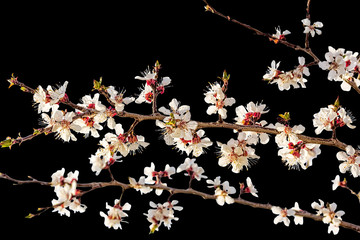 Panel SzklanyFlowering branches of apricot on a black background, close-up