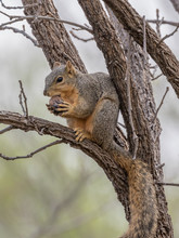 Young Fox Squirrel Eating An A...