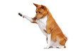 Sitting in a white studio basenji dog pointing to the copy space area with his paw