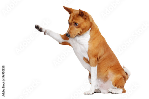 fototapeta na drzwi i meble Sitting in a white studio basenji dog pointing to the copy space area with his paw