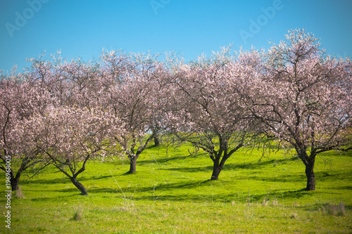 Tuinposter Purper Pink Blooming Peach Trees at Spring
