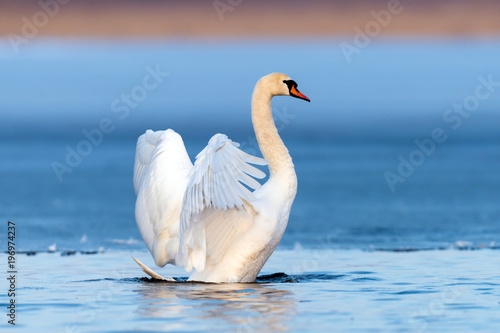Poster Cygne Mute swan flapping wings