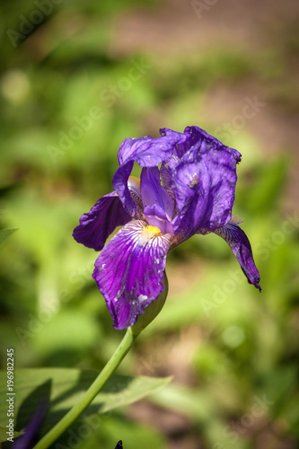 Spoed Foto op Canvas Iris Iris flower in garden