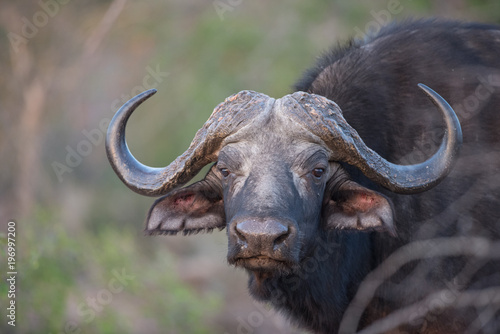 Staande foto Buffel A horizontal, colour image of a buffalo cow, Syncerus caffer, looking at the camera in the Greater Kruger Transfrontier Park, South Africa.