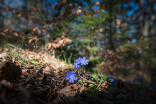 Lue Spring Flowers In A Forest
