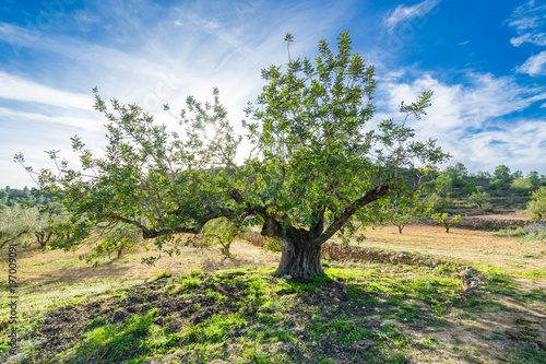 Tuinposter Olijfboom The olive tree in sunny day