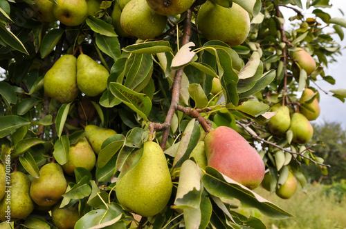 Спелые груши на дереве.