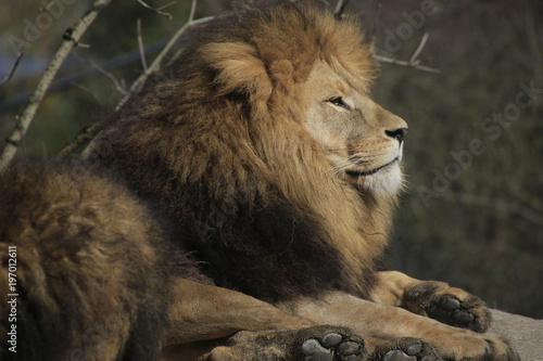 Löwen Männchen Portrait (Panthera leo)