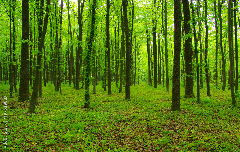 Fototapety, obrazy: green forest in spring