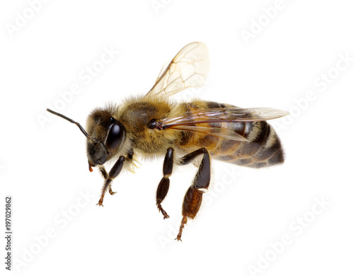 Poster Bee Bee isolated on white