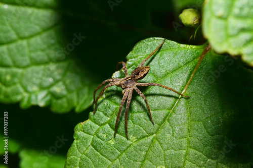 Photo Macro view from above of a brown-gray young spider-wolf Arachnida sitting on a g
