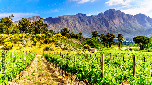 Obraz Vineyards of the Cape Winelands in the Franschhoek Valley in the Western Cape of South Africa, amidst the surrounding Drakenstein mountains - fototapety do salonu