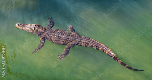 Crocodile floating in water