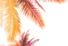 Toned Palm Leaves Silhouette On White Background. Lighting Filter Effect, Purple And Orange Colors. Copy Space