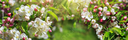 Fotobehang Bomen Apple flowers and sunlight.
