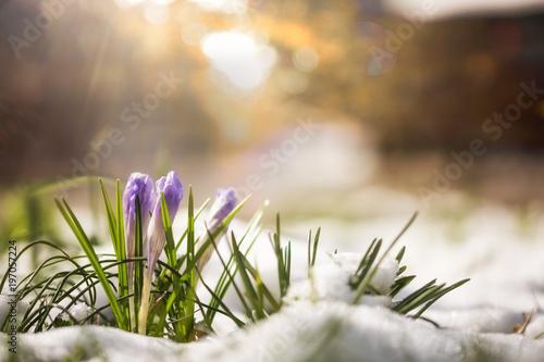 Krokus im Schnee streckt sich die Sonne entgegen
