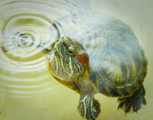 Red-eared Turtle Peeks Out Of ...