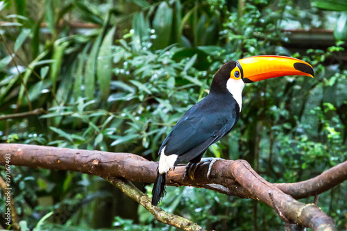 Toucan on the branch in tropical forest of Brazil Wallpaper Mural