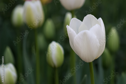 Gorgeous field or meadow of white tulips with focus on one on the right on an early spring morning.