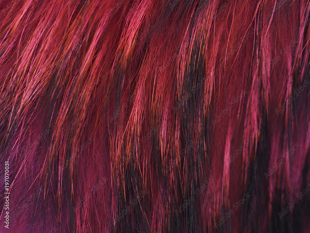 Fototapeta Texture raccoon fur dyed in pink and black, hair of a dyed raccoon. Natural soft furry  fur background for fur design. Creative coloring