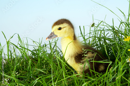 Duckling in grass Poster