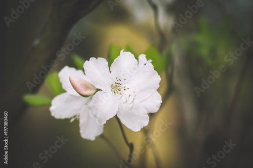 Papiers peints Azalea Beautiful white and pink azalea flowers closeup on white background