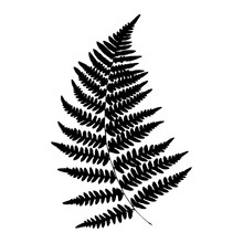 Silhouette Of A Fern. Isolated...