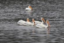 American White Pelican, Peleca...