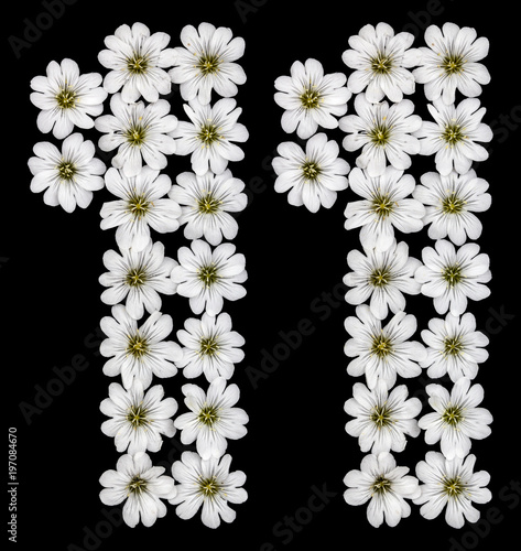 Arabic numeral 11 eleven one from white flowers of cerastium arabic numeral 11 eleven one from white flowers of cerastium tomentosum isolated mightylinksfo